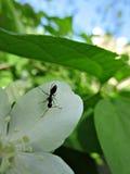 Муравей на белом цветке Стоковая Фотография RF