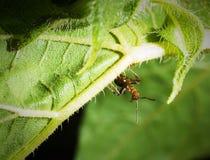 Муравей на зеленом макросе лист Стоковые Фото