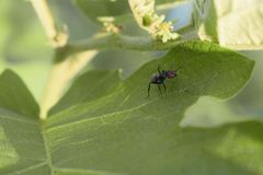 Муравей на лист Черный муравей стоковые фотографии rf