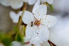 Муравей на цветке груши Стоковое Изображение RF