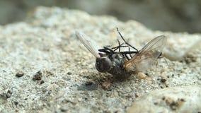 Муравей пробуя двинуть муху акции видеоматериалы