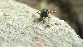 Муравей пробуя снести муху сток-видео