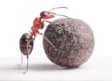 Муравей свертывает тяжелый камень Стоковая Фотография RF