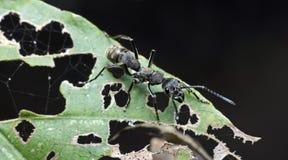 Муравей, черный муравей Стоковое фото RF