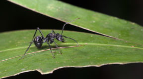 Муравей, черный муравей Стоковые Фото