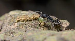 Муравей, черный муравей Стоковая Фотография
