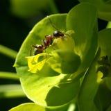 муравей Стоковые Изображения RF