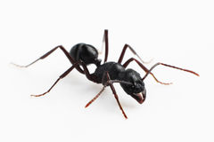 муравей Стоковые Изображения