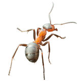 муравей Стоковое Фото
