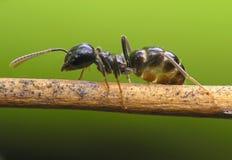 муравей Стоковое Изображение RF