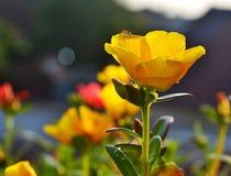 Муравей na górze красивого желтого цветка в солнечном свете утра Стоковые Изображения RF