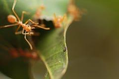 Муравей skimp гнездо Стоковая Фотография