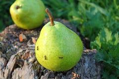 Муравьи груш Стоковая Фотография