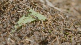 Муравьи двигая в anthill Marco предпосылку много насекомых Жизнь крупного плана муравьев на верхней части anthill стоковая фотография rf