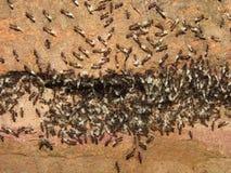 Муравьи держат очень необыкновенные яичка - верьте что бедствия/дождь понизится Стоковые Фото
