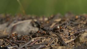 Муравьи конца-вверх одичалые роясь вокруг их anthills Anthill в лесе среди сухих листьев Насекомые работая муравей стоковая фотография rf