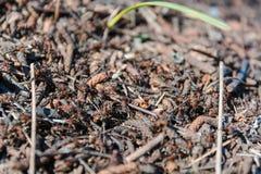Муравьи красные это много муравьи древесина сосенки холма муравея стоковые фотографии rf