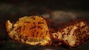 Муравьи на апельсине сток-видео