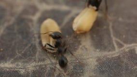 Муравьи очень близко выбирая вверх еду в лете видеоматериал