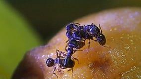 Муравьи очищая один другого на плодоовощ абрикоса сток-видео