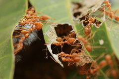 Муравьи строя гнездо Стоковые Фотографии RF