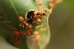 Муравьи строя гнездо Стоковая Фотография RF