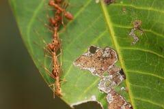 Муравьи строя гнездо Стоковая Фотография