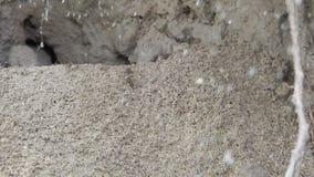 Муравьи строя их колонию муравья и выкапывая вверх отверстие сток-видео
