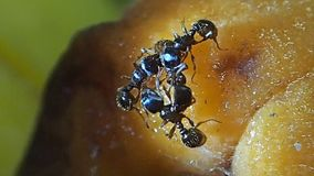 4 муравья очищая один другого на плодоовощ абрикоса видеоматериал