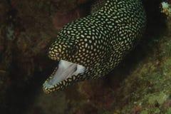 мурена Бело-рта, остров Kapalai, Сабах Стоковая Фотография RF