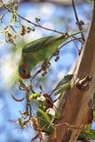 Мускус Lorikeet (concinna Glossopsitta) Стоковое Изображение