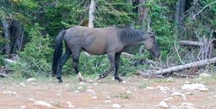 Мустанг дикой лошади - черный жеребец диапазона который как раз свернул в грязи в ряде дикой лошади гор Pryor в Монтане США Стоковое Изображение RF