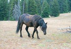 Мустанг дикой лошади - черный жеребец диапазона который как раз свернул в грязи в ряде дикой лошади гор Pryor в Монтане США Стоковая Фотография RF