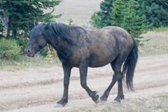 Мустанг дикой лошади - черный жеребец диапазона который как раз свернул в грязи в ряде дикой лошади гор Pryor в Монтане США Стоковые Изображения RF