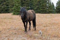 Мустанг дикой лошади - черный жеребец диапазона который как раз свернул в грязи в ряде дикой лошади гор Pryor в Монтане США Стоковые Фотографии RF