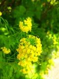 Мустард цветка Стоковые Фотографии RF