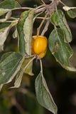 Мутант Яблока на ветви дерева Стоковое Фото