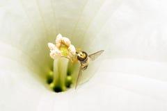 Муха выглядеть как оса, ест белый нектар, сидящ внутри цветка, раскрывая свои крыла Макрос Стоковые Изображения RF