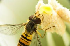 Муха выглядеть как оса, ест белый нектар, сидящ внутри цветка, раскрывая свои крыла Макрос Стоковые Фото