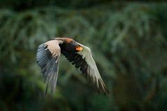 Муха в среду обитания природы, Кения ecaudatus орла, Terathopius Bateleur, коричневых и черных хищной птицы, Африка Форма сцены ж Стоковое Фото