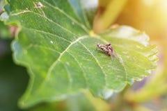 Муха гибридизирует на лист шелковицы Стоковые Изображения RF
