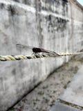 Муха дракона в веревочке Стоковое Изображение RF