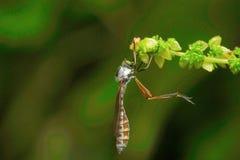 Муха дракона, колония молока Aarey, ИНДИЯ Стоковое Фото