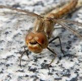 муха дракона Стоковые Изображения