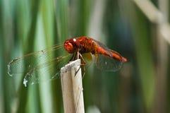 муха дракона стоковая фотография rf