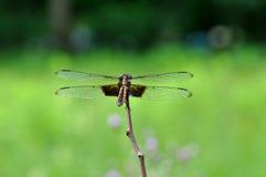муха дракона Стоковые Изображения RF