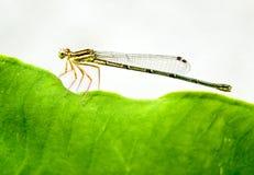 муха дракона Стоковые Фотографии RF