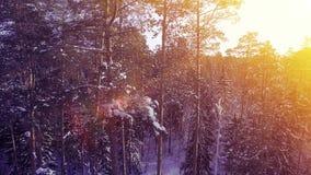 Муха захода солнца ВОЗДУШНОЙ зимы света Солнця теплая среди uhd съемки 4k леса дерева снега сосны красивого славного северного акции видеоматериалы