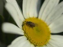 Муха и цветок Стоковое Изображение RF