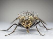 муха, конец вверх, макрос, большая муха, насекомое изверга, вид спереди Стоковое Фото